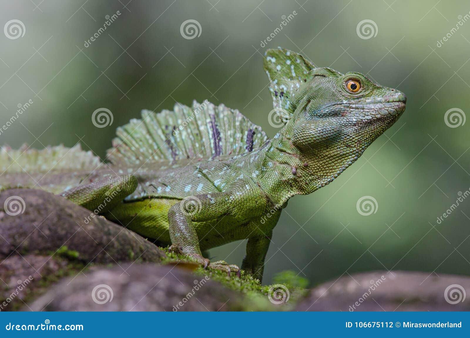 Manligt smaragdbasiliskslut upp