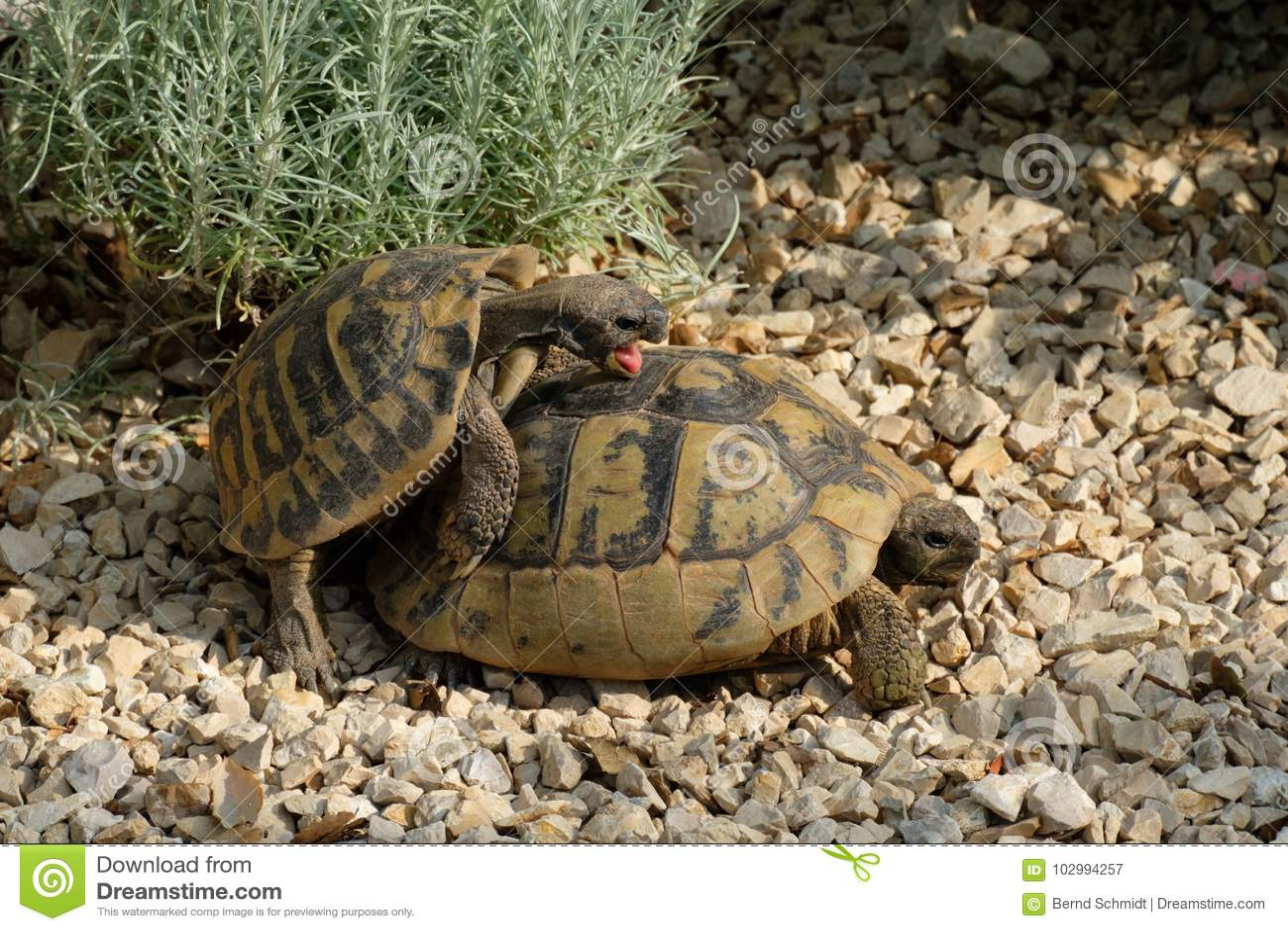 Mann Und Weibliche Griechische Schildkröte Haben Geschlechtsverkehr