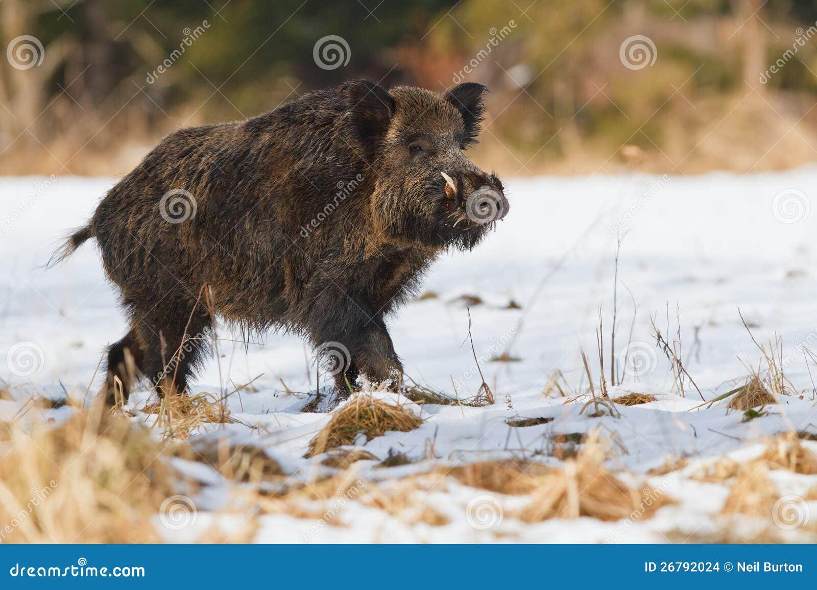 Mannelijk everzwijn in de sneeuw