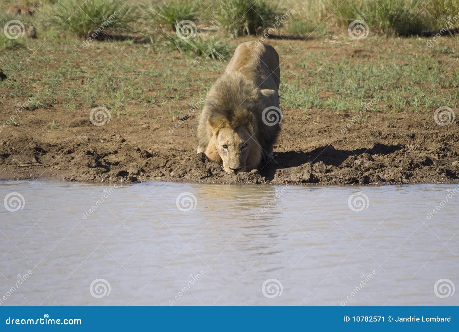 Mannelijk leeuw drinkwater