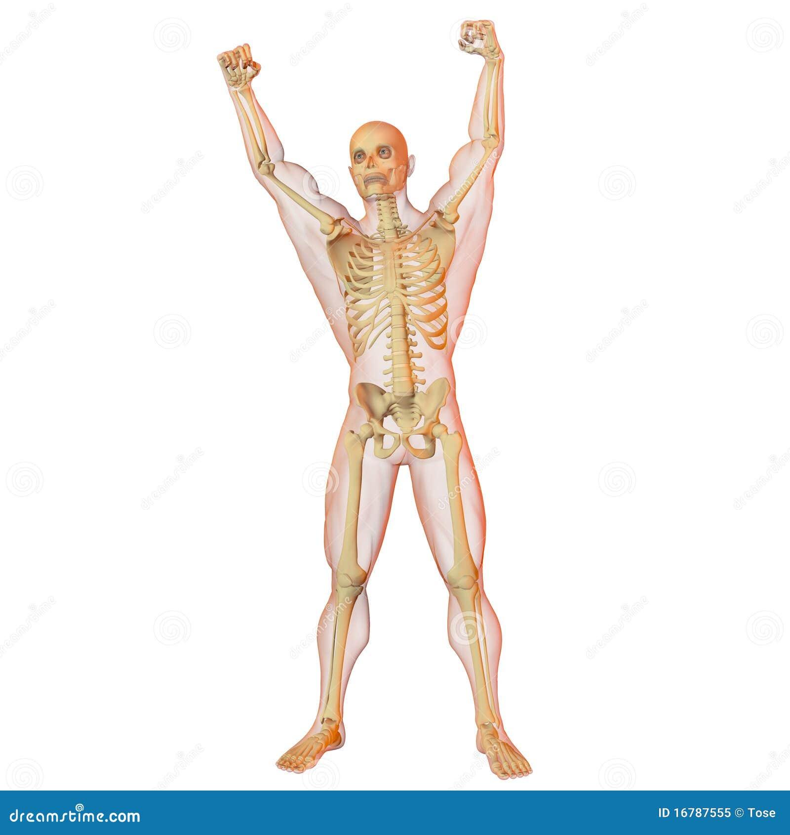 De illustratie van de röntgenstraal van mannelijk menselijk lichaam ...: nl.dreamstime.com/royalty-vrije-stock-foto-mannelijk-menselijk...