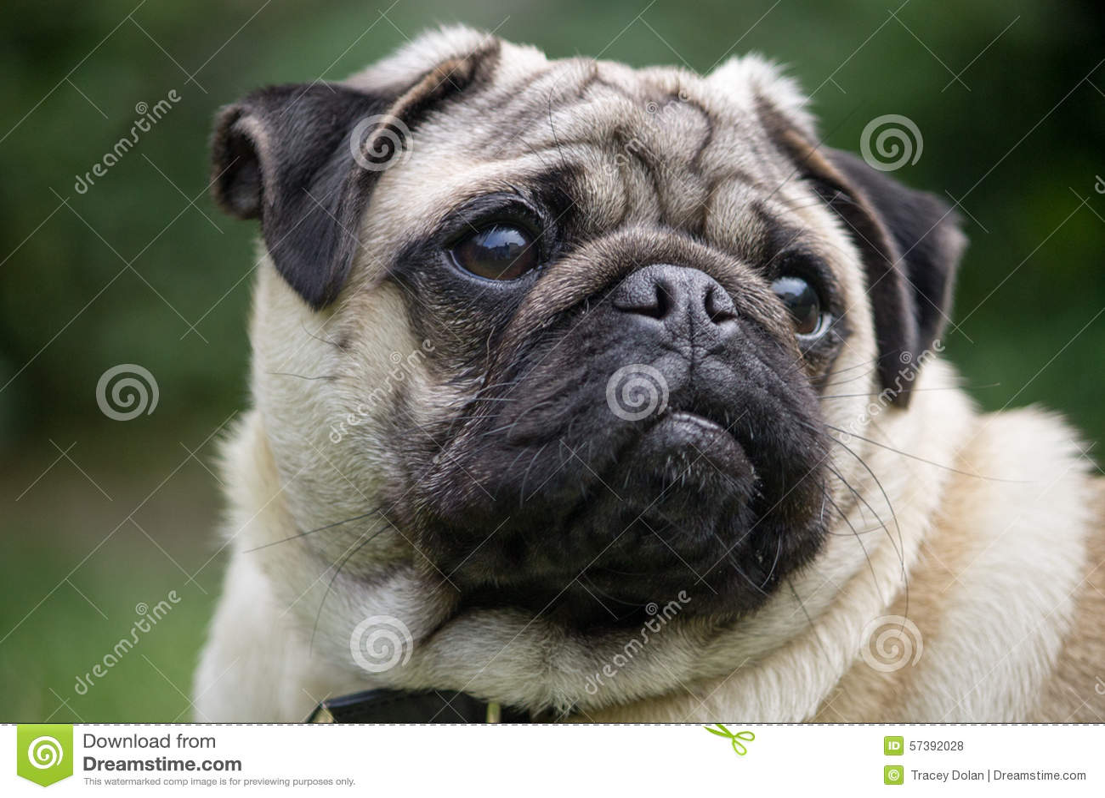 Mannelijk Pug hondras