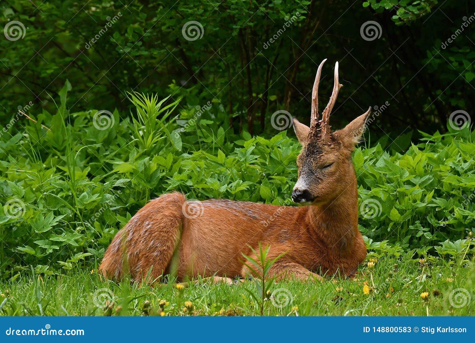 Mannelijk Roe Deer, Capreolus-capreolus ligt in rust een vroege ochtend