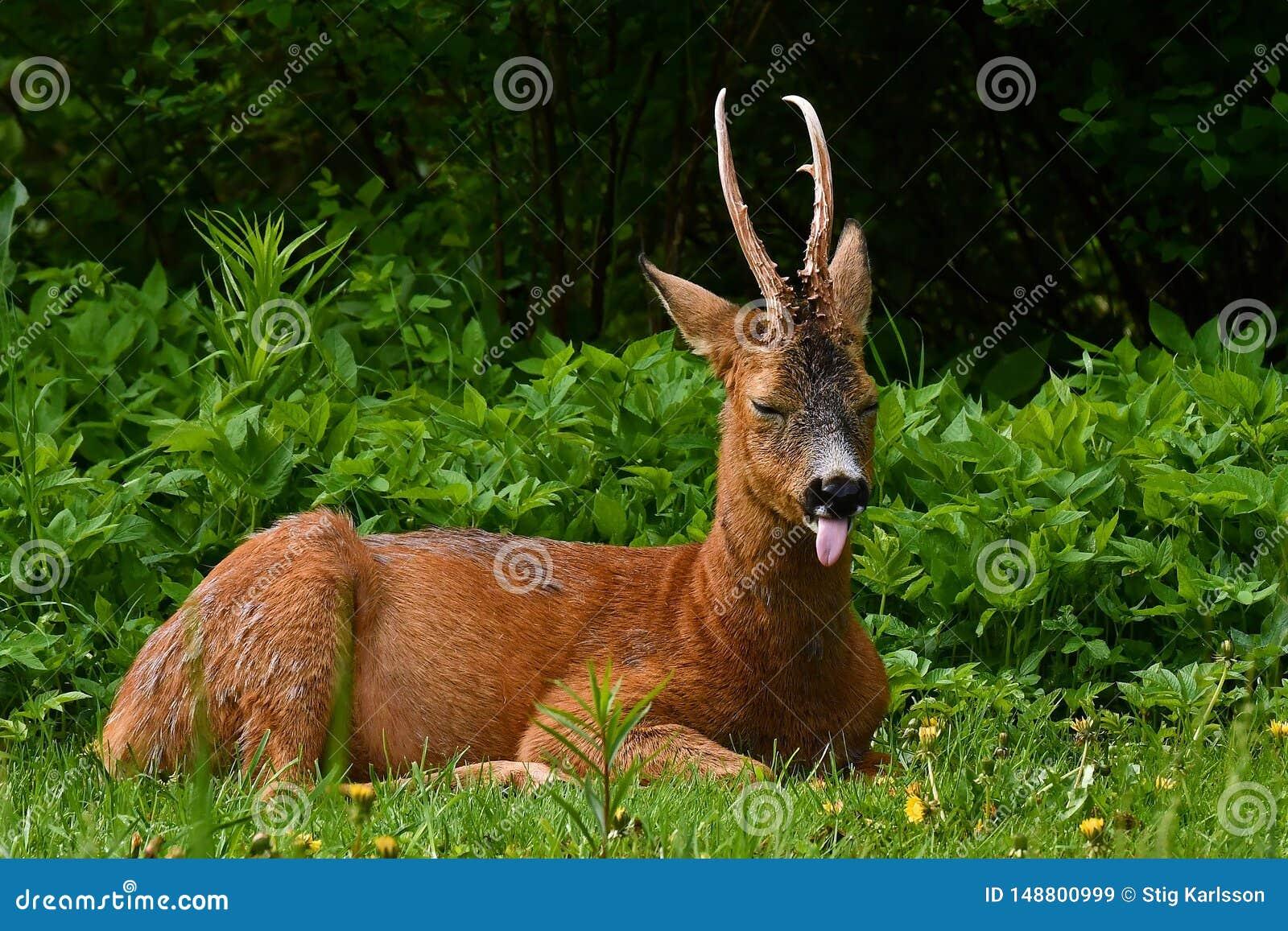 Mannelijk Roe Deer, Capreolus-capreolus in rust met de tong uit een vroege ochtend