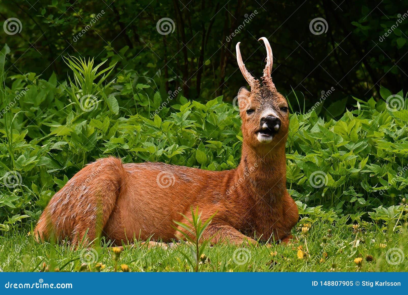 Mannelijk Roe Deer, in rust en het kauwen en het herkauwen in vroege ochtend