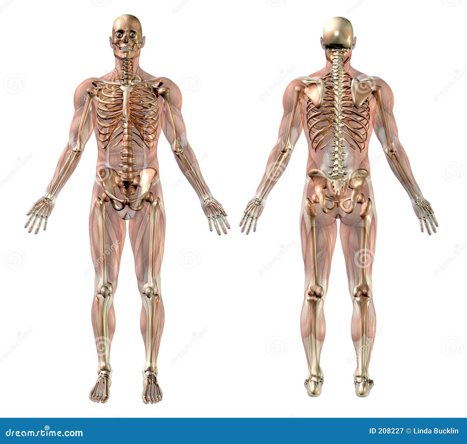 Mannelijk Skelet met Semi-transparent Spieren