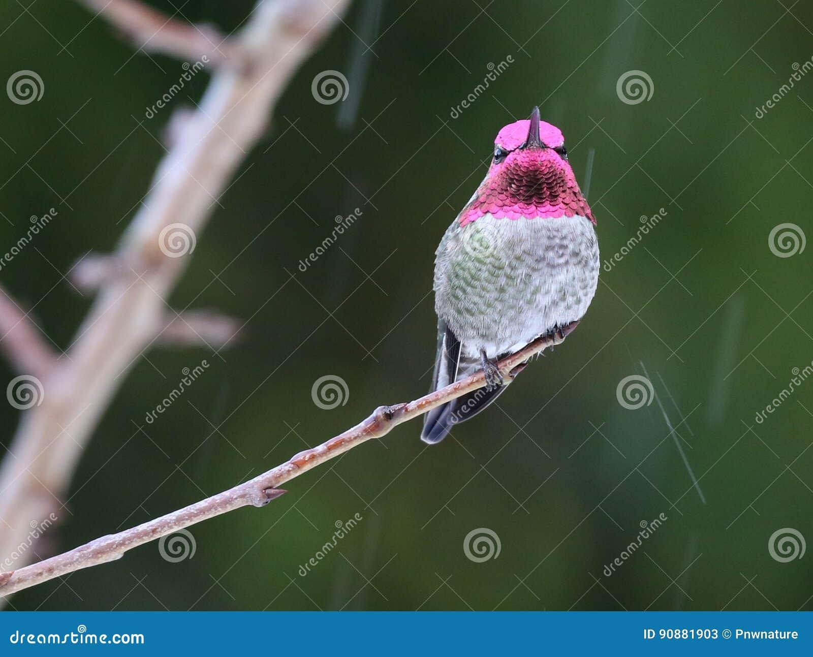 Mannelijke Anna ` s Kolibrie in de Regen