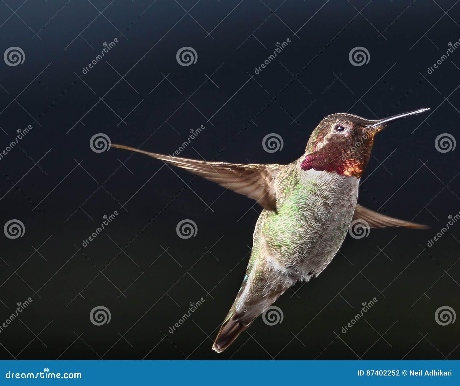 Mannelijke Anna ` s kolibrie die in de lucht hangen