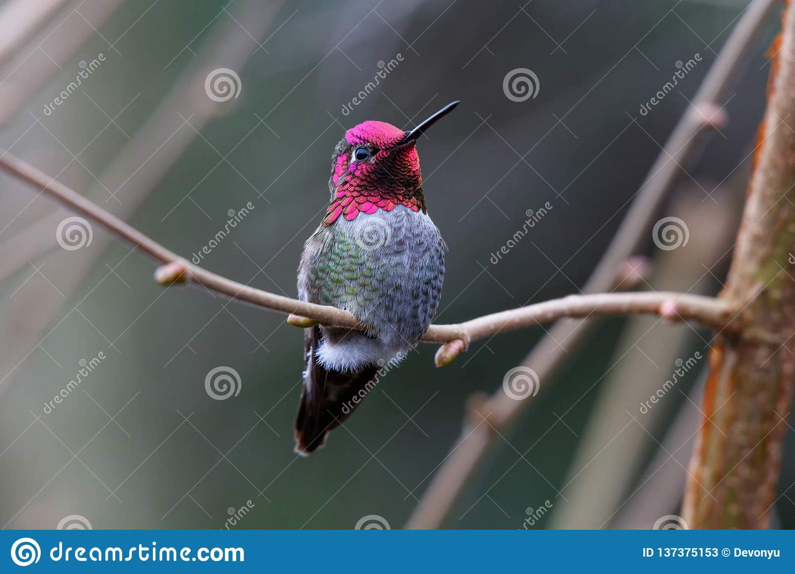 Mannelijke Annas-Kolibrie