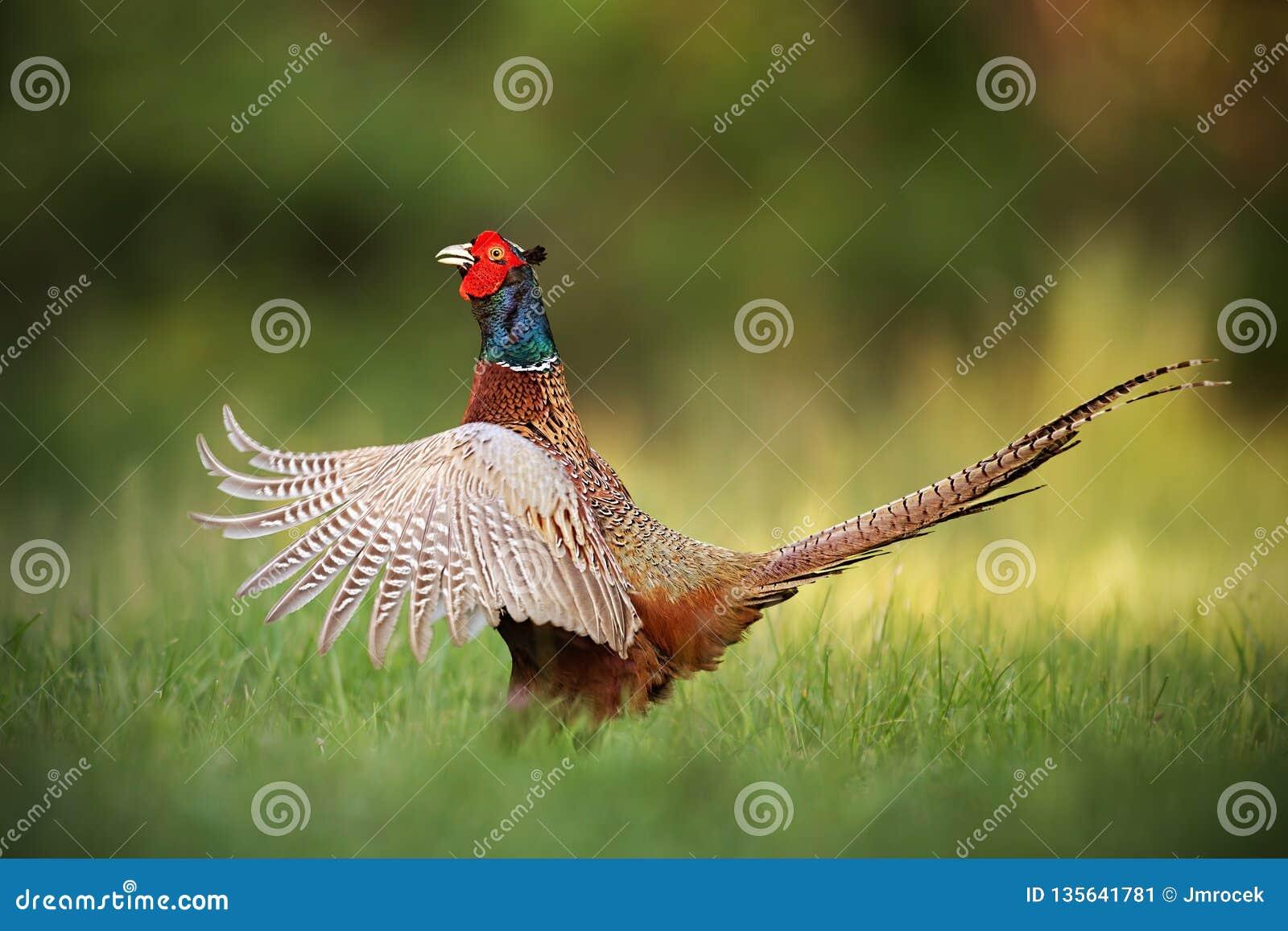 Mannelijke gemeenschappelijke fazant, de haan van phasianuscolchicus het pronken met