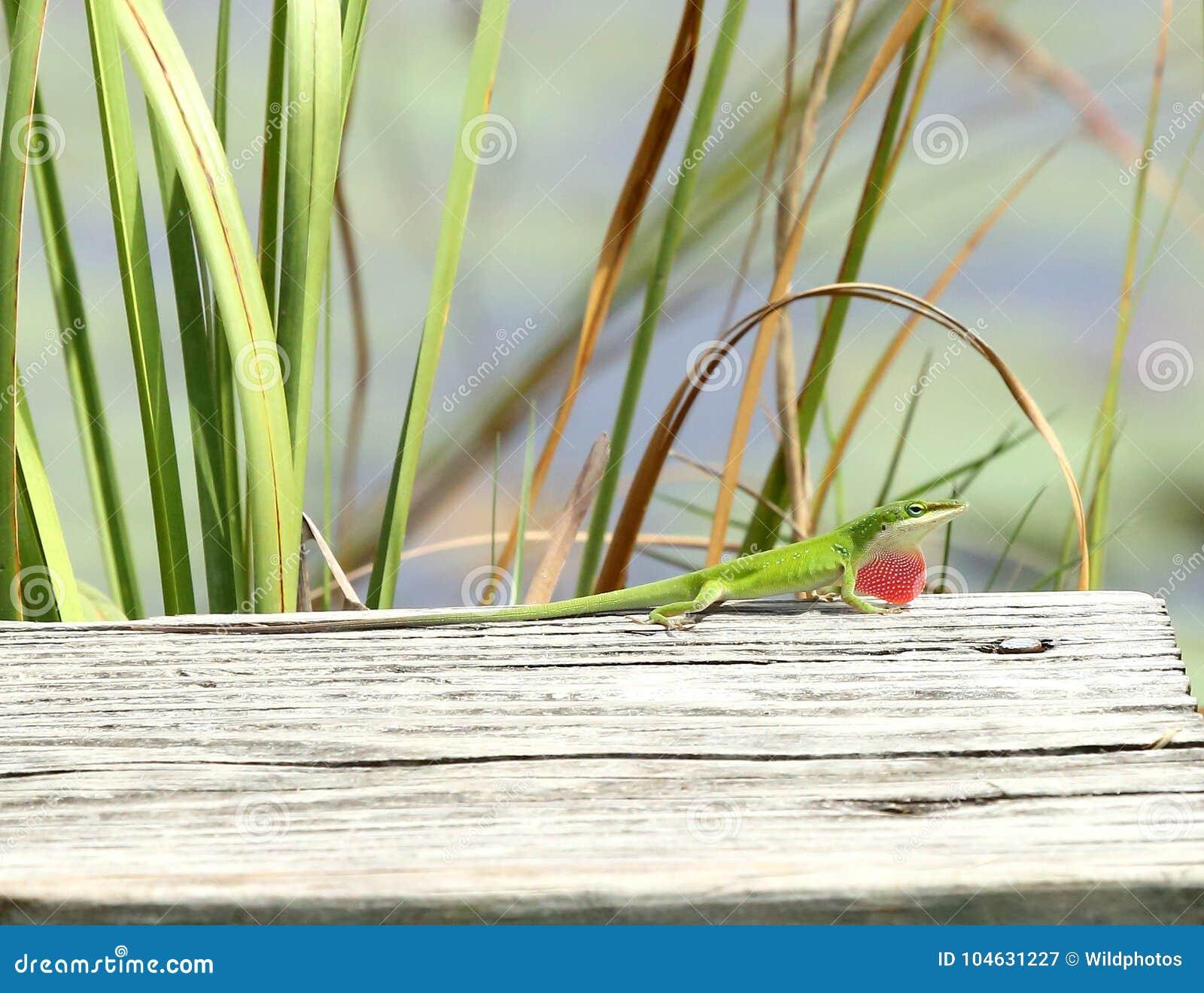 Download Mannelijke Groene Anole stock afbeelding. Afbeelding bestaande uit schepsel - 104631227