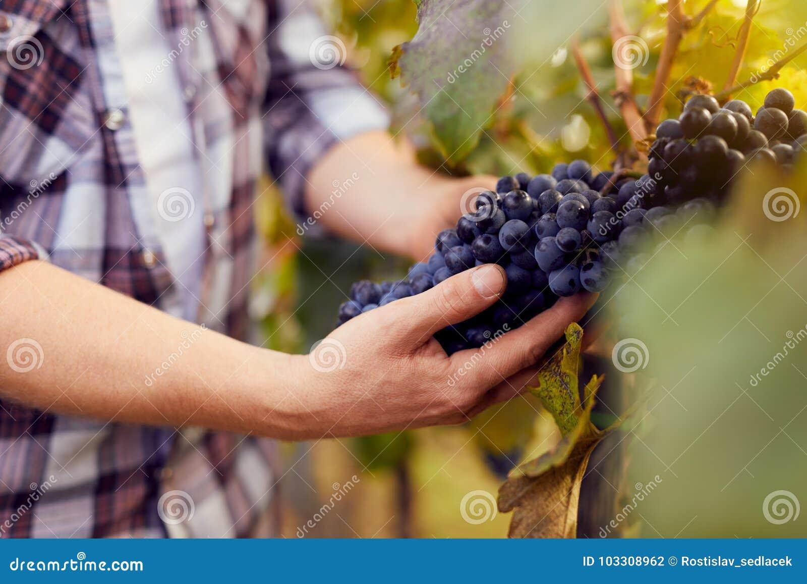 Mannelijke handen die druiven houden bij oogst