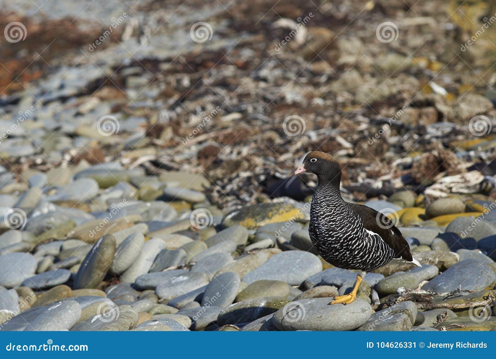 Download Mannelijke Kelpgans Op Falkland Islands Stock Afbeelding - Afbeelding bestaande uit kelp, patroon: 104626331