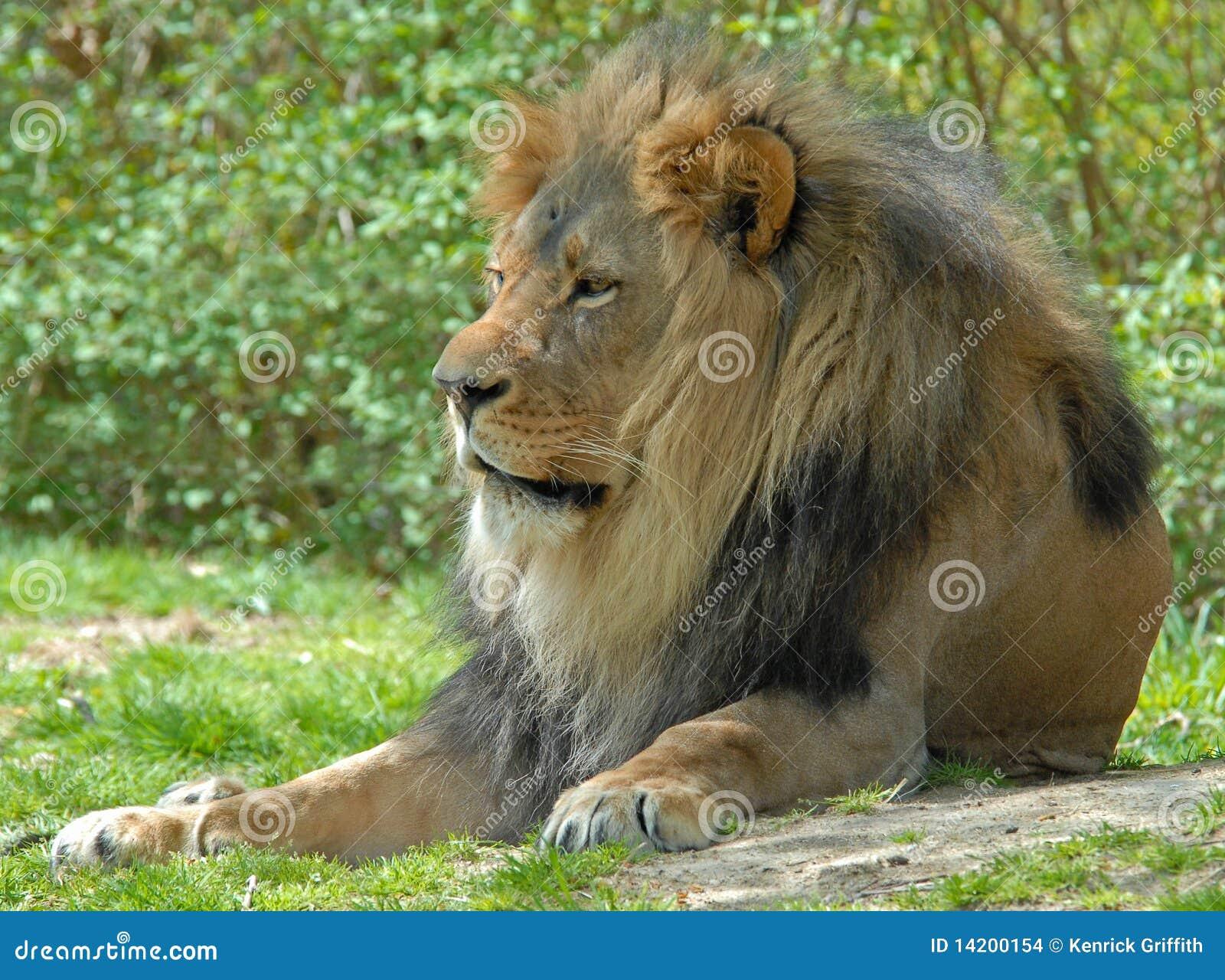 Mannelijke Leeuw