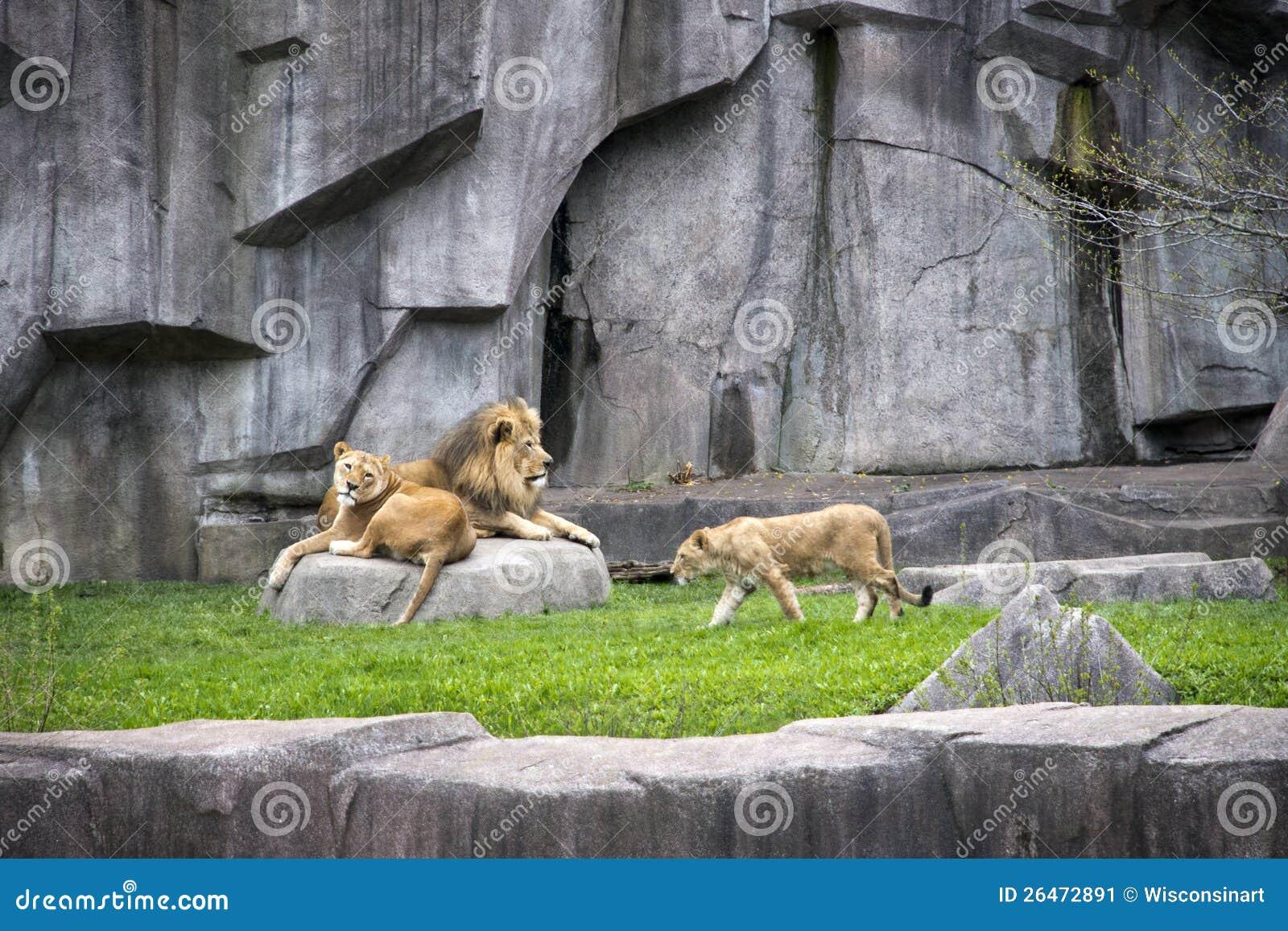 Mannelijke Leeuw, Leeuwin, het Wild van de Welp, de Moderne Kooi van de Dierentuin