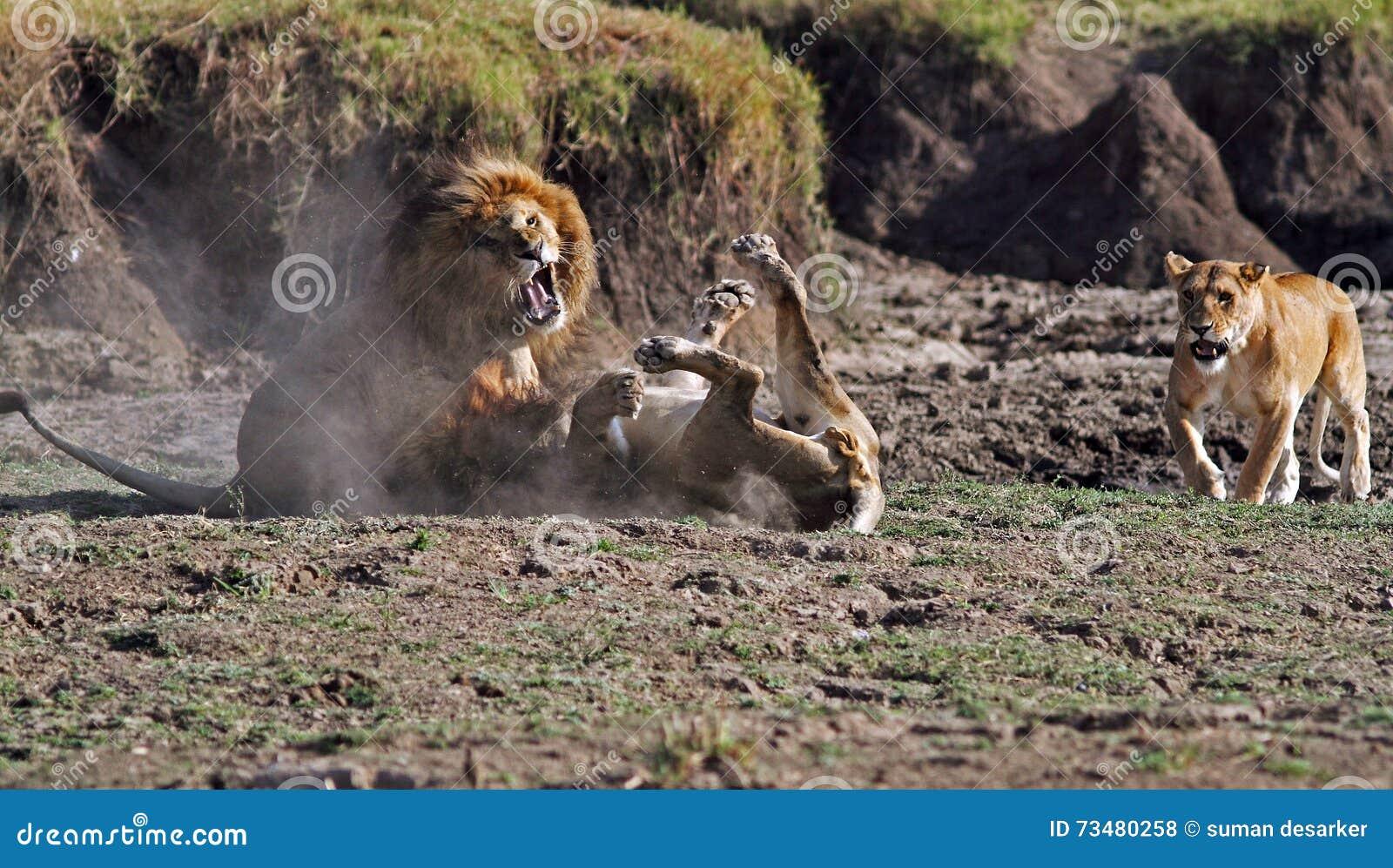 Mannelijke Leeuwen die over een partner-leeuwin vechten