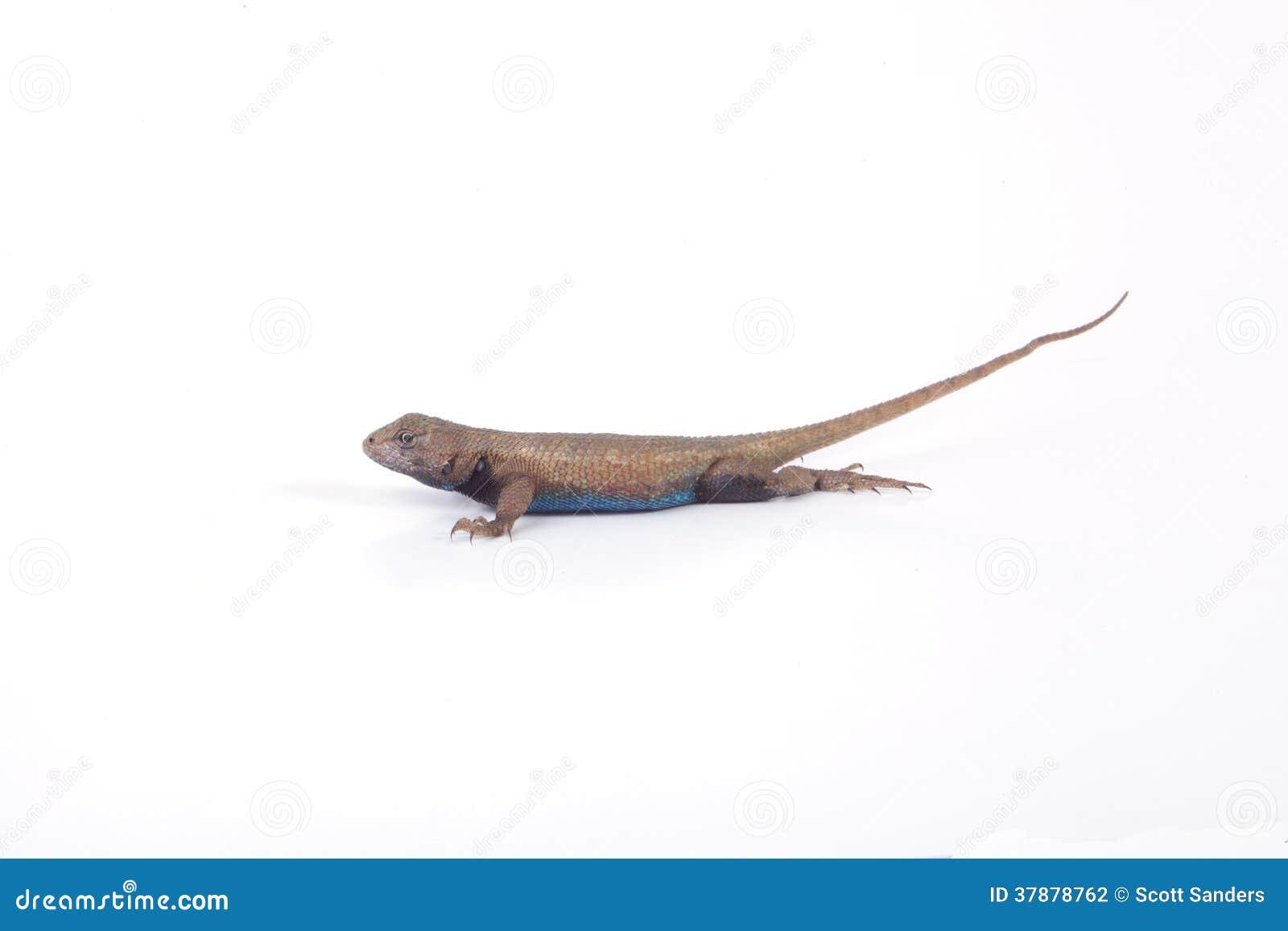 Mannelijke Omheining Lizard