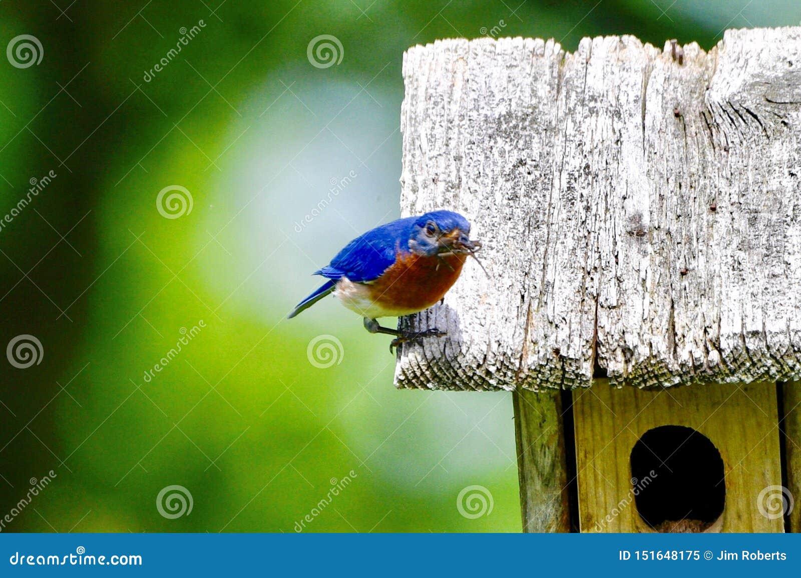 Mannelijke Oostelijke Blauwe Vogel #4