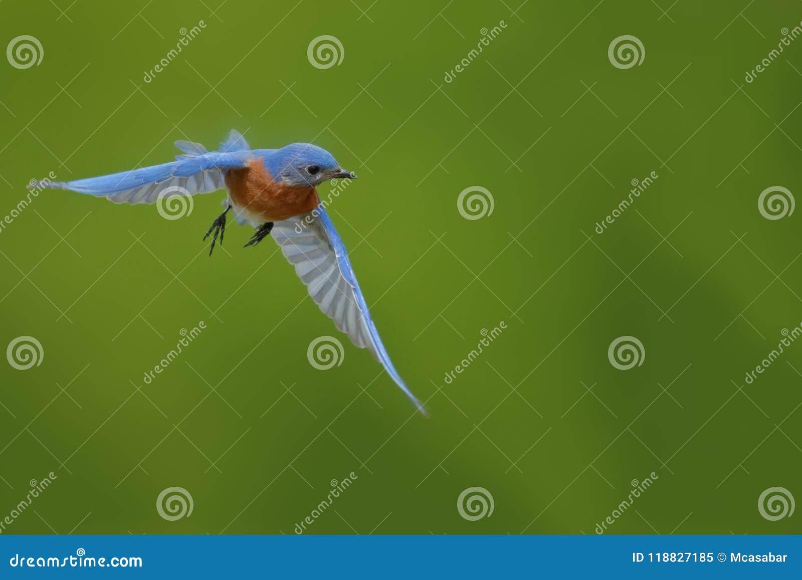 Mannelijke Oostelijke Sialiavliegen aan het nestelen doos