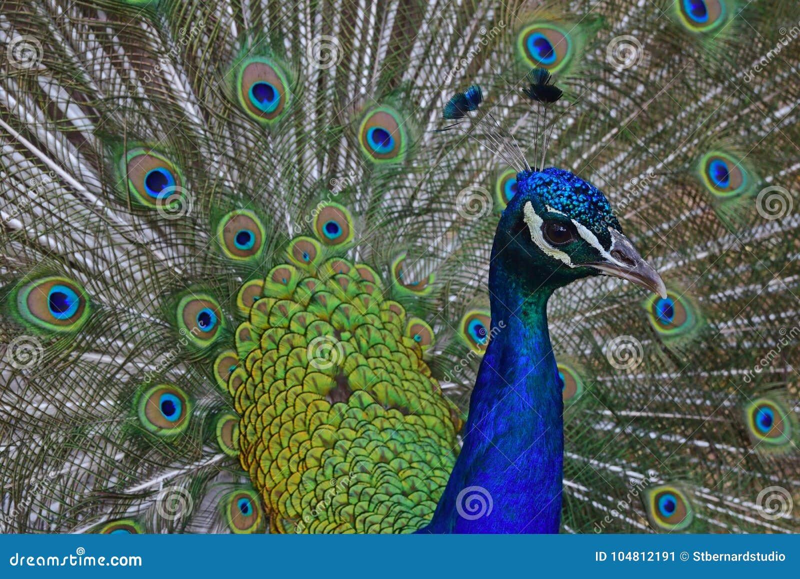 Mannelijke pauw met zijn geopende veren