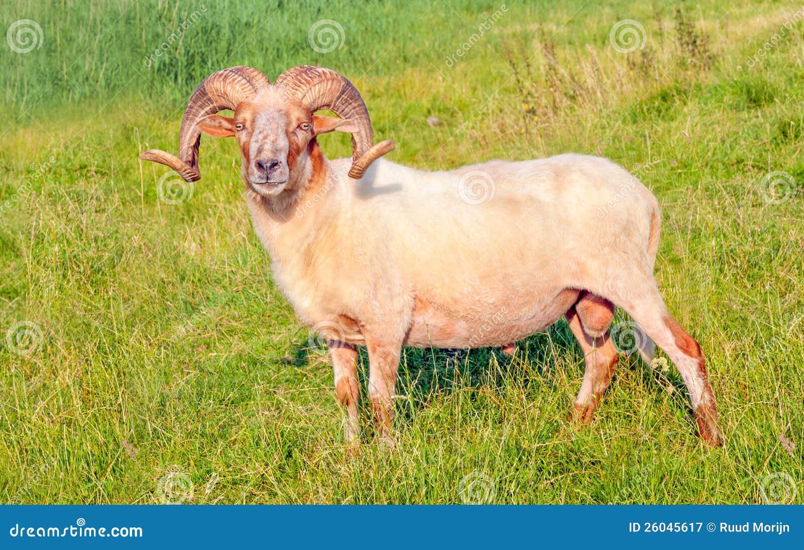 Mannelijke schapen Mouflon die in een Nederlandse weide stellen