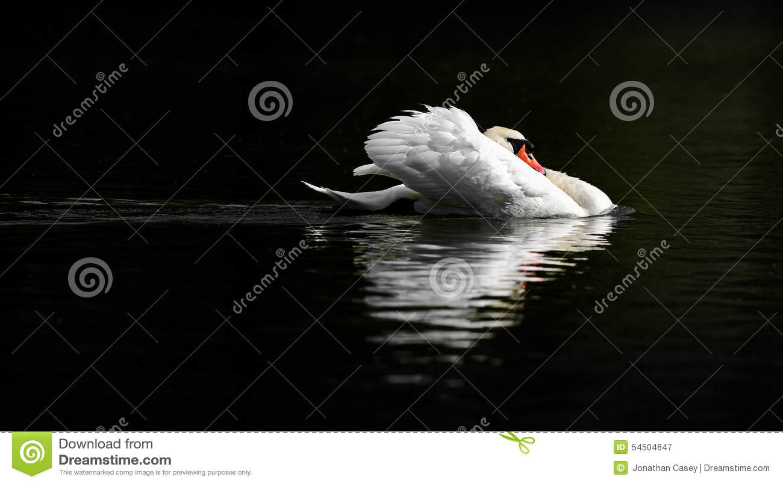Mannelijke Stodde Zwaan in Bedreigingshouding op Donker Water