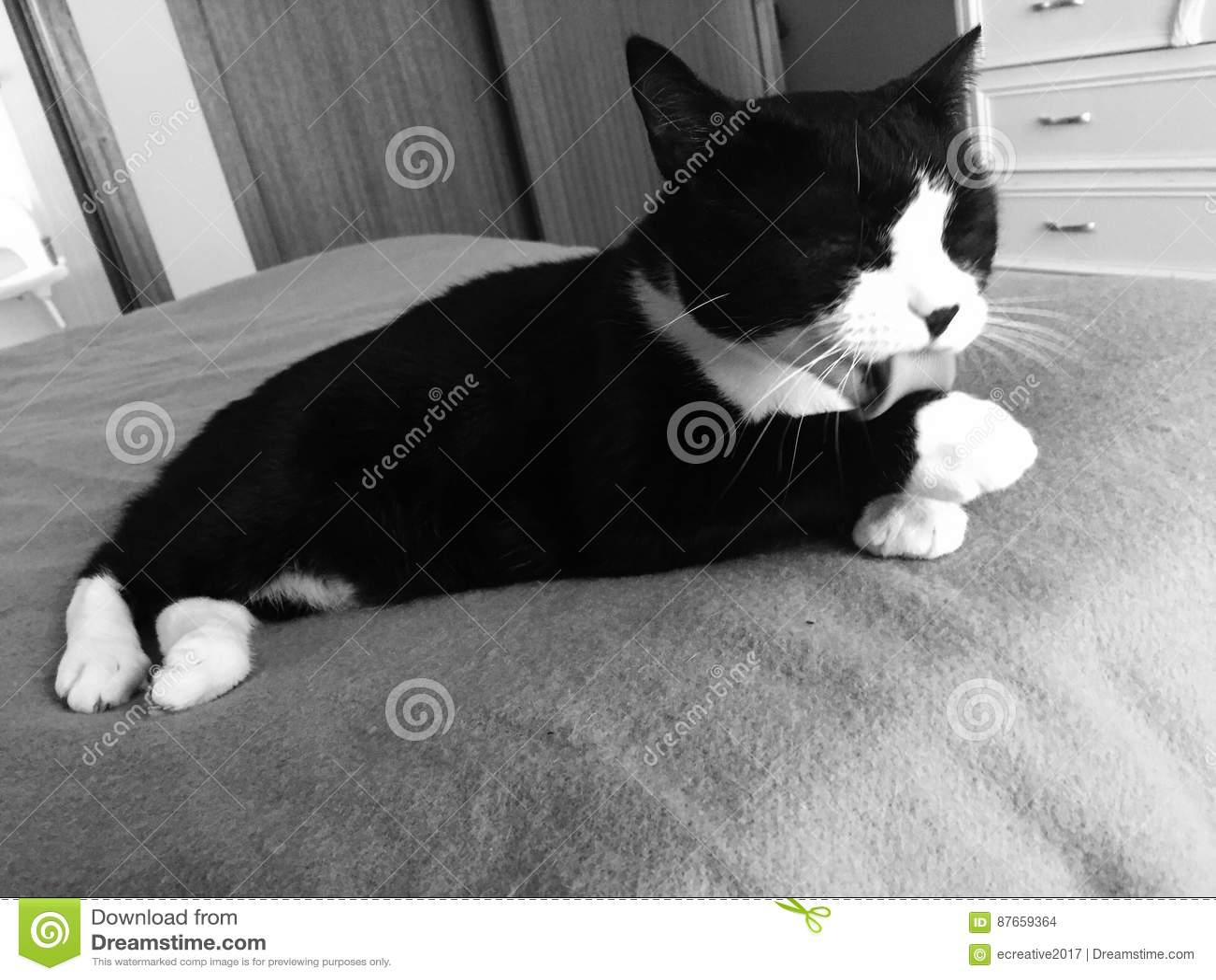 Mannelijke Zwart-witte Cat Bathing