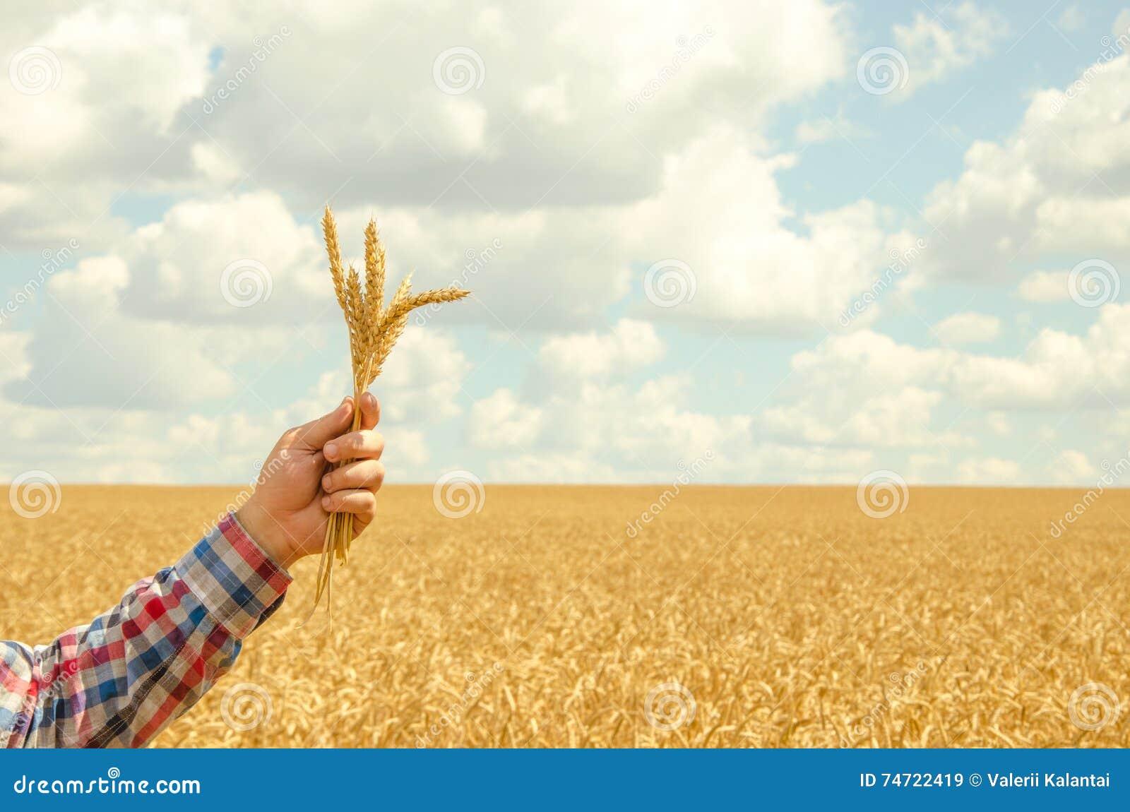Mannen rymmer ett moget vete Manhänder med vete Vetefält mot en blå himmel veteskörd i fältet Mogen vetecloseup