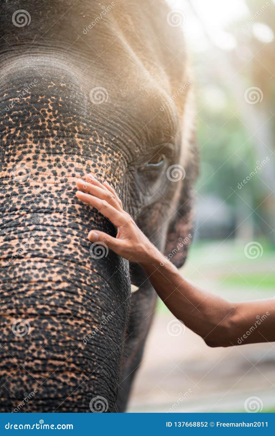 Mannens hand på elefantens huvud begreppet av kamratskap och omsorg ton