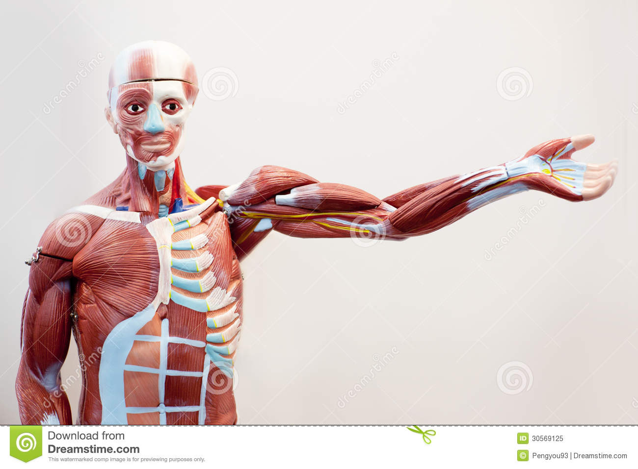 Mannequin Body Muscle Tissue Stock Image - Image of model, anatomy ...