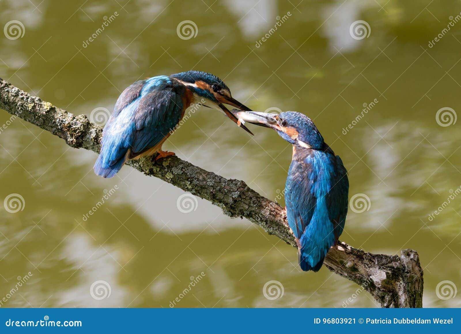 Mannes- und der Fraugemeine Eisvögel, die sich einziehen