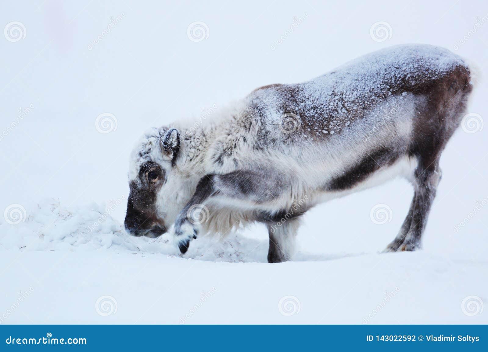 Mannetje van polair rendier op ijs