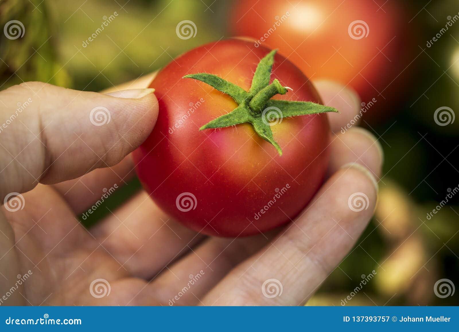 Mano che seleziona pomodoro nostrano