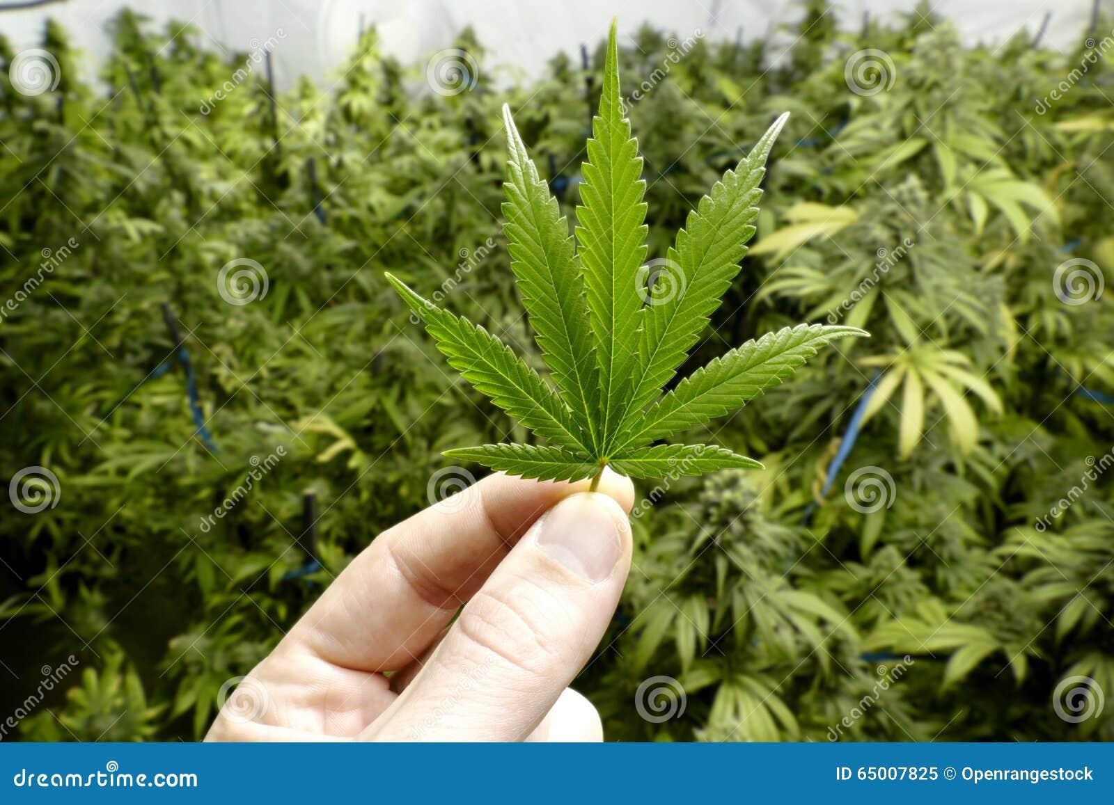 Mano Che Tiene La Piccola Foglia Della Marijuana Con Le ...