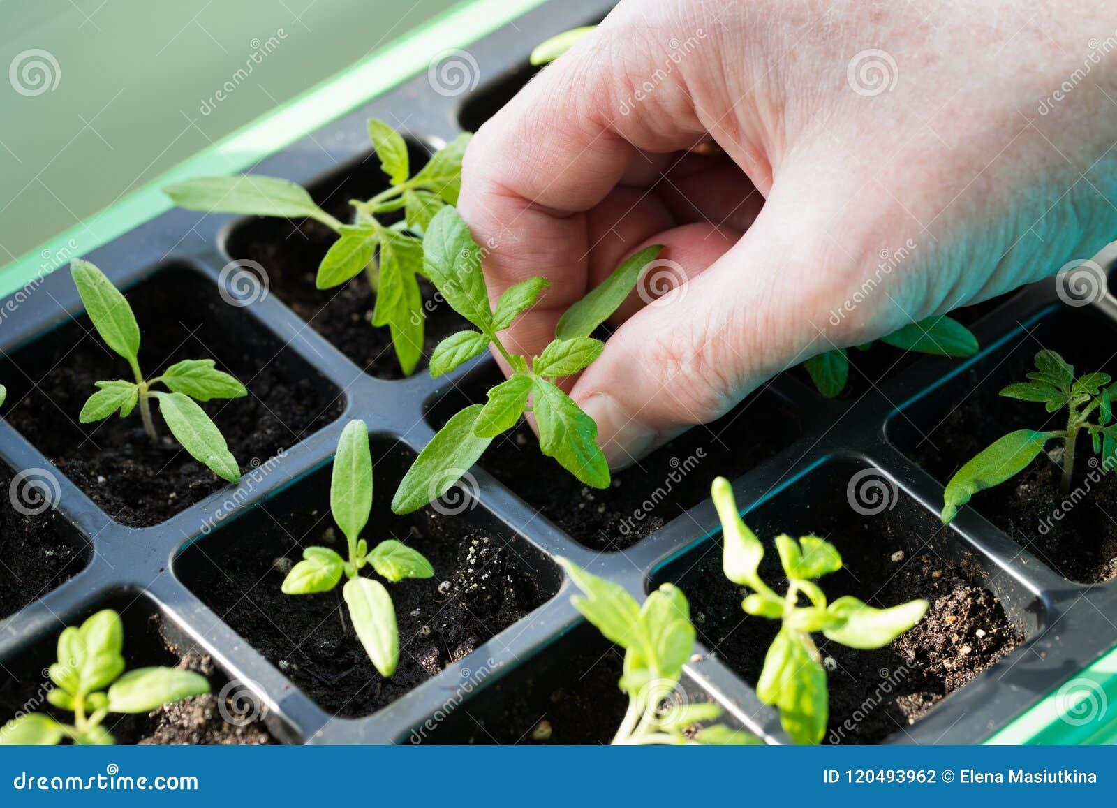Mano che tiene la piccola piantina verde del germoglio del pomodoro