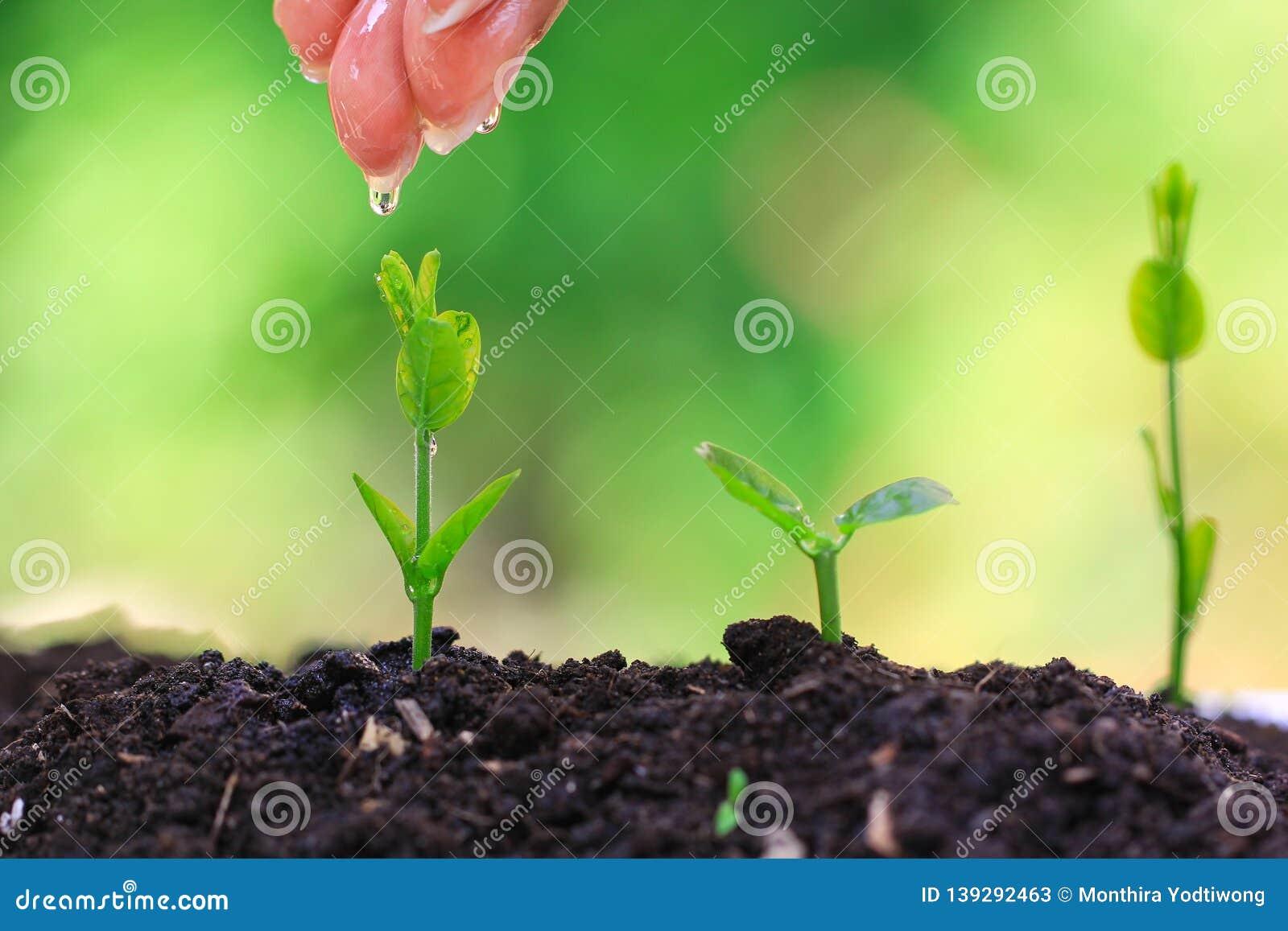 Mano de la mujer que riega a la pl?ntula en suelo completo en el fondo verde natural, concepto cada vez mayor de las plantas