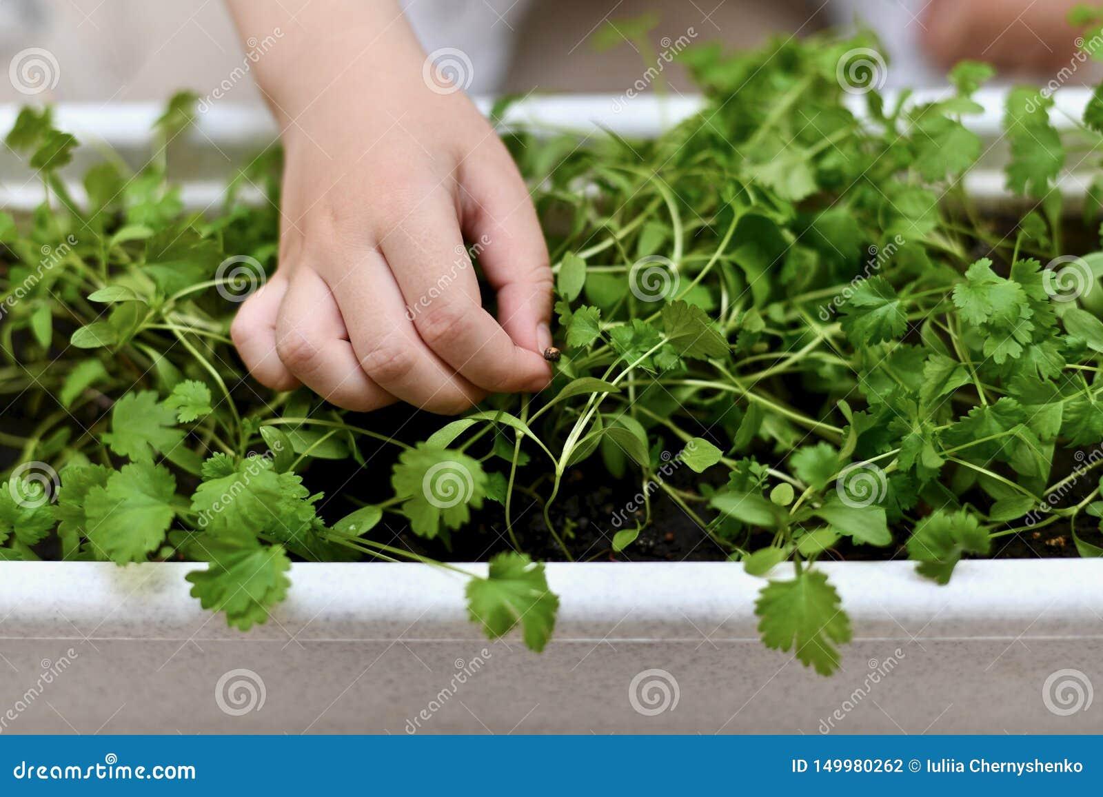 Mano de un niño con la semilla brotada del cilantro