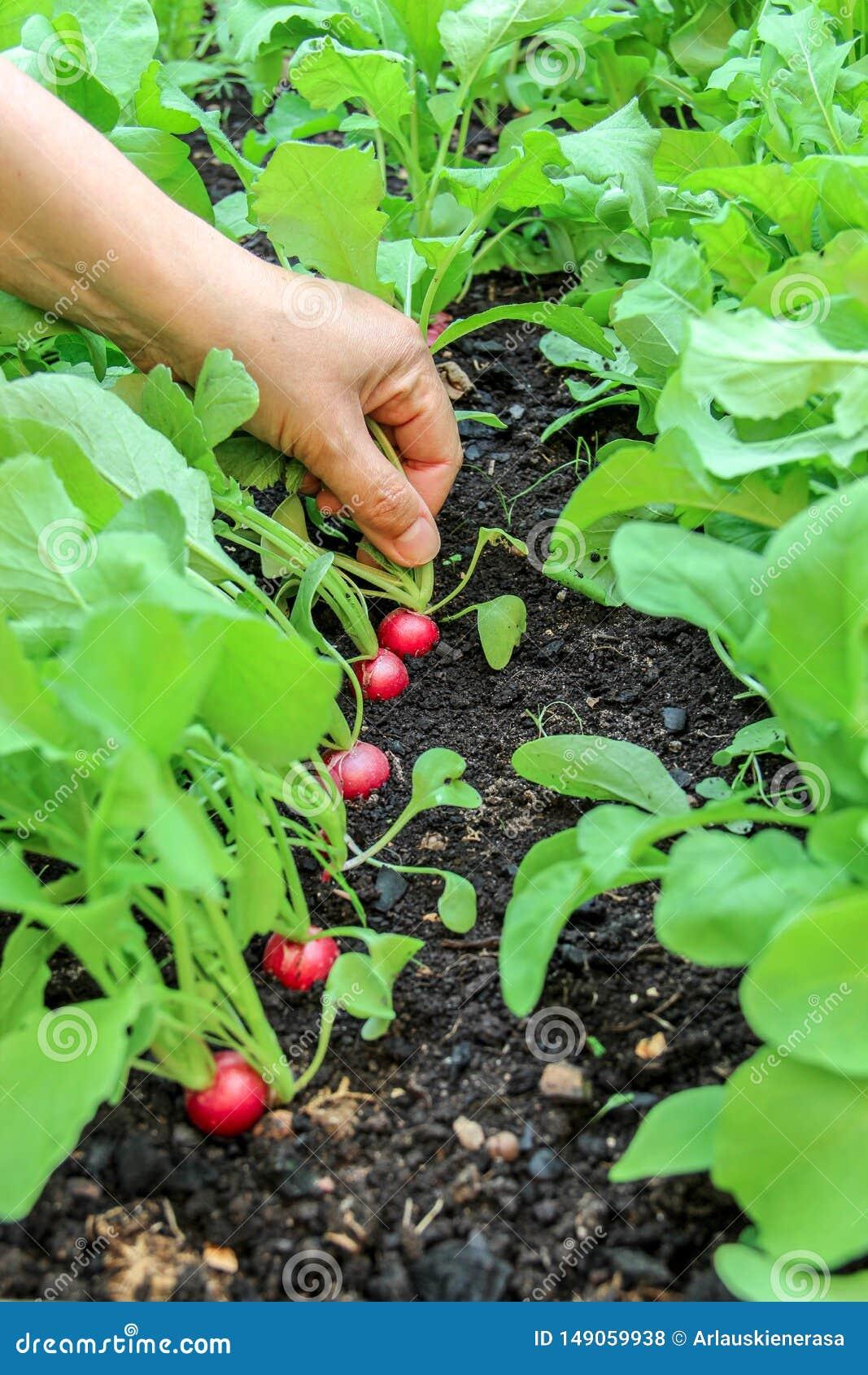 Mano de una mujer que escoge la primera cosecha de rábanos en jardín aumentado de la cama