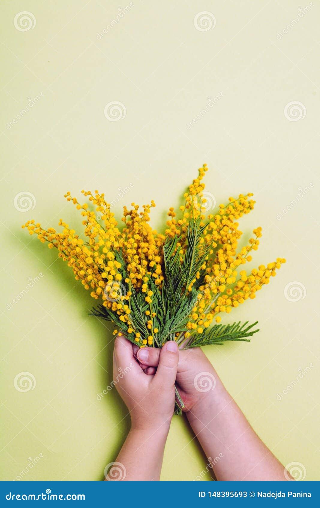 Mano del niño que sostiene las flores amarillas de la mimosa en fondo amarillo