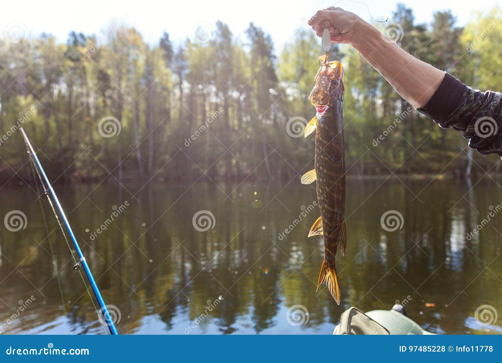 Mano del ` s del pescatore con il luccio del pesce