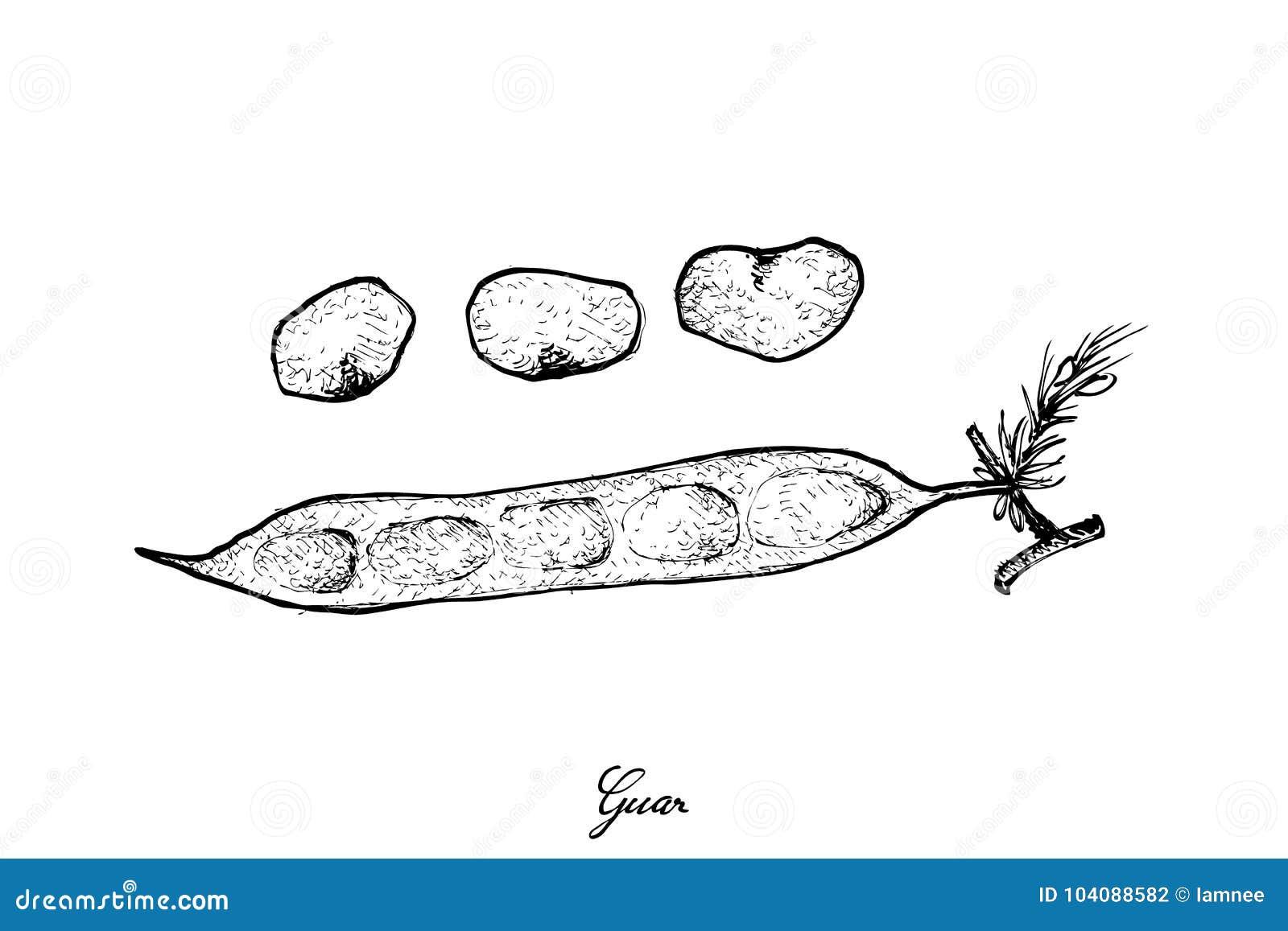 Mano dibujada de haba de racimo o del guar fresca