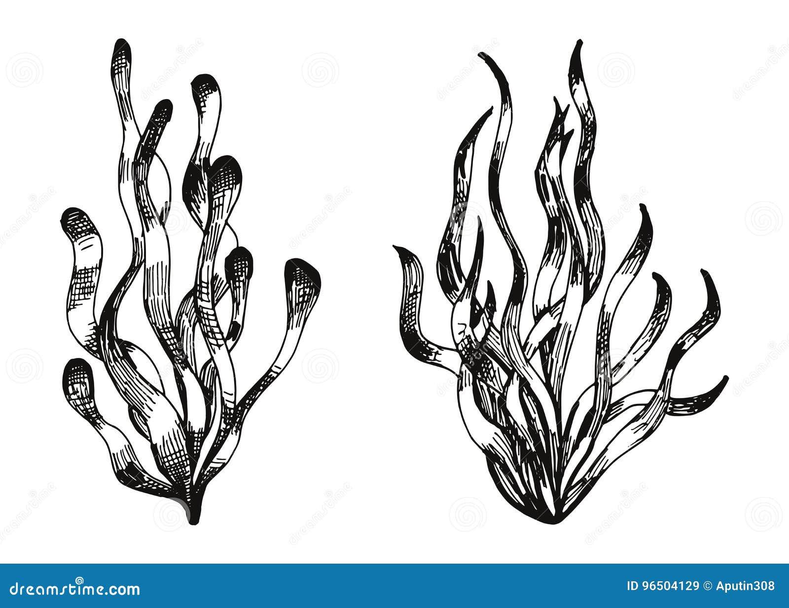 A Mano Disegno Delle Piante Acquatiche Vettore Delle Alghe