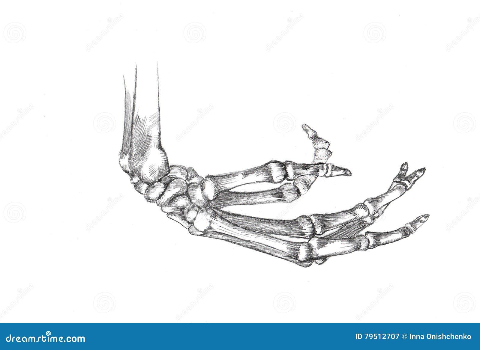 Único A Mano Imágenes Esqueleto Regalo - Anatomía de Las Imágenesdel ...