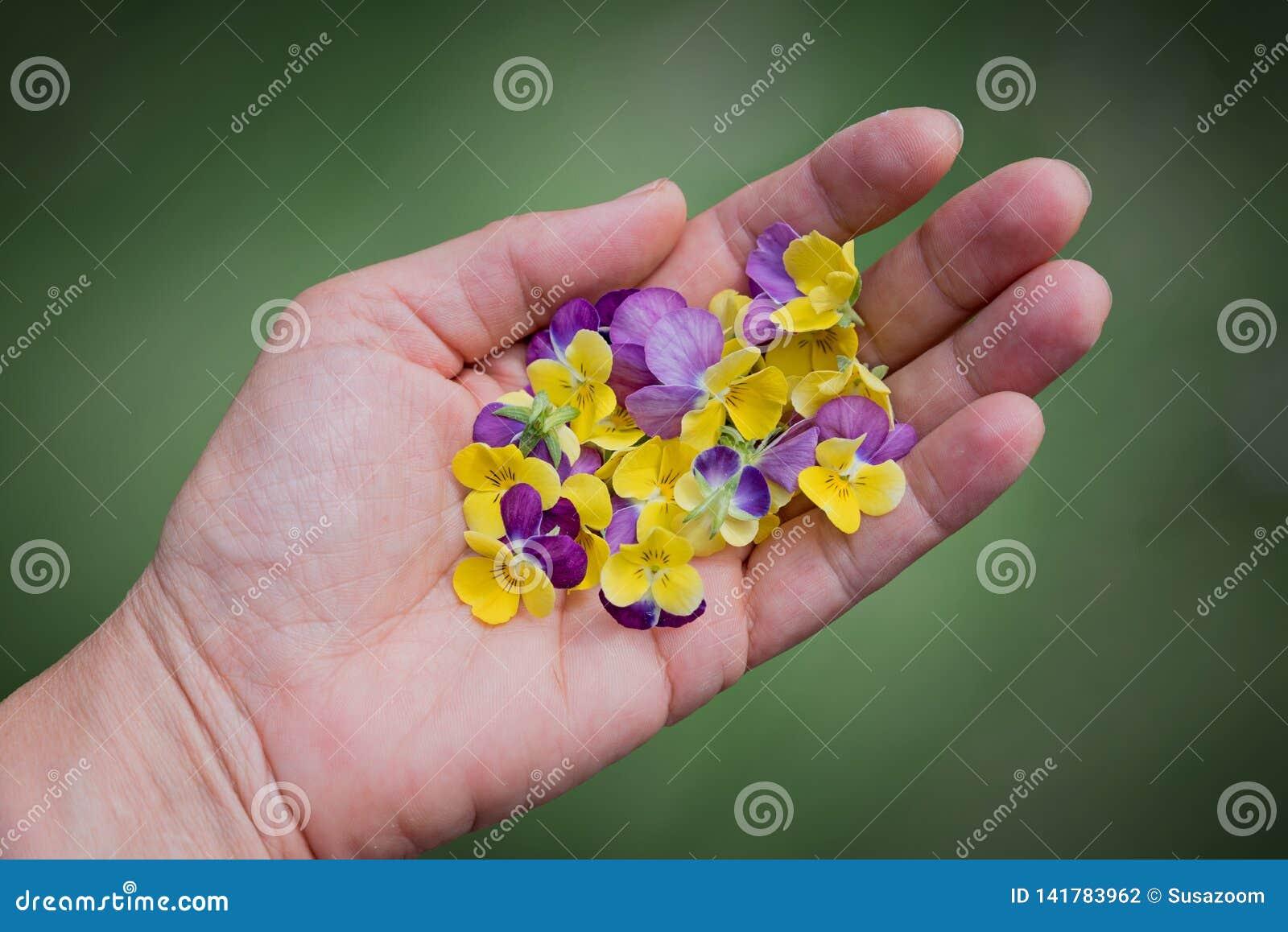 Mano femenina con los flores de la viola