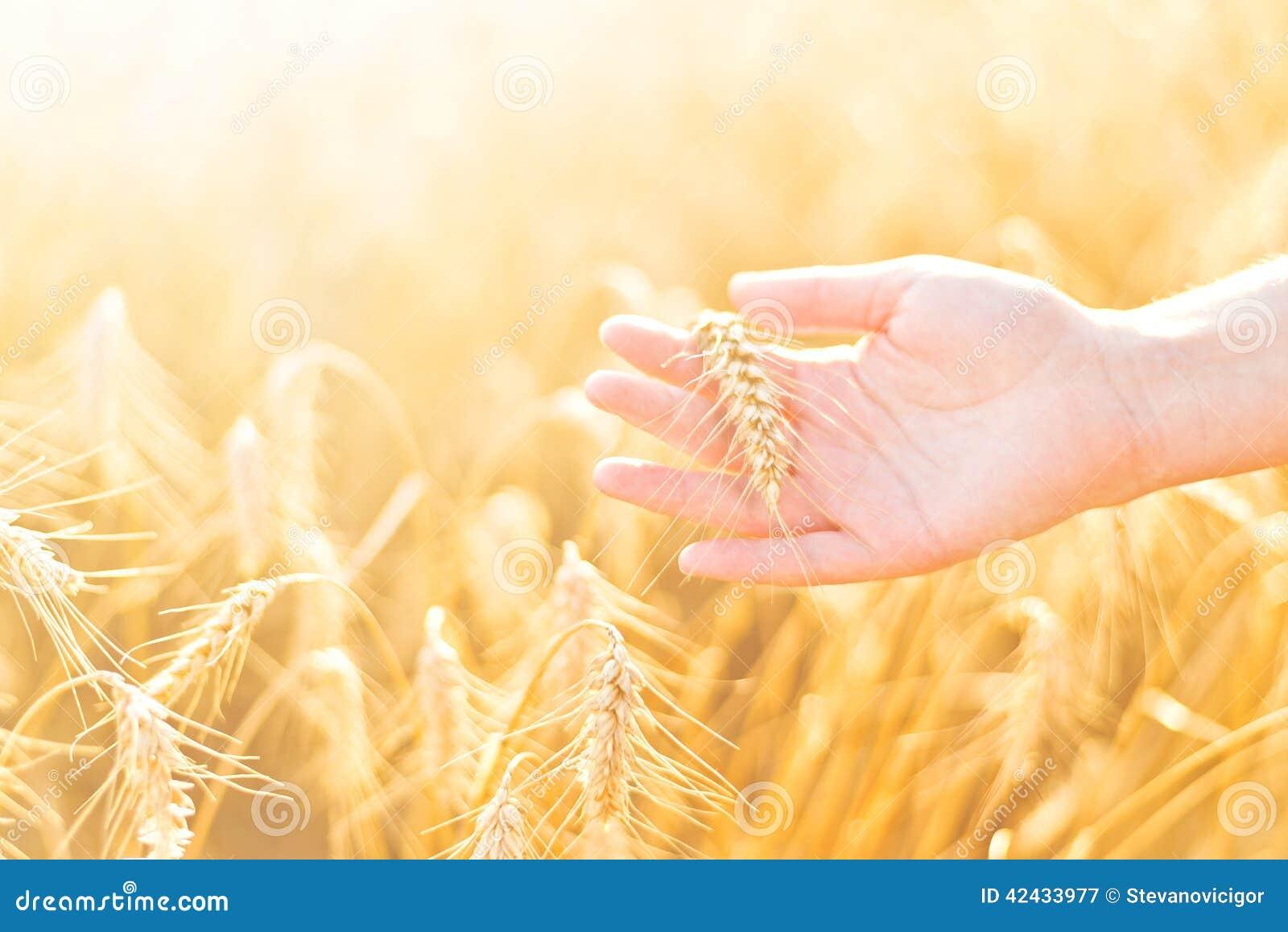 Mano femenina en campo de trigo agrícola cultivado