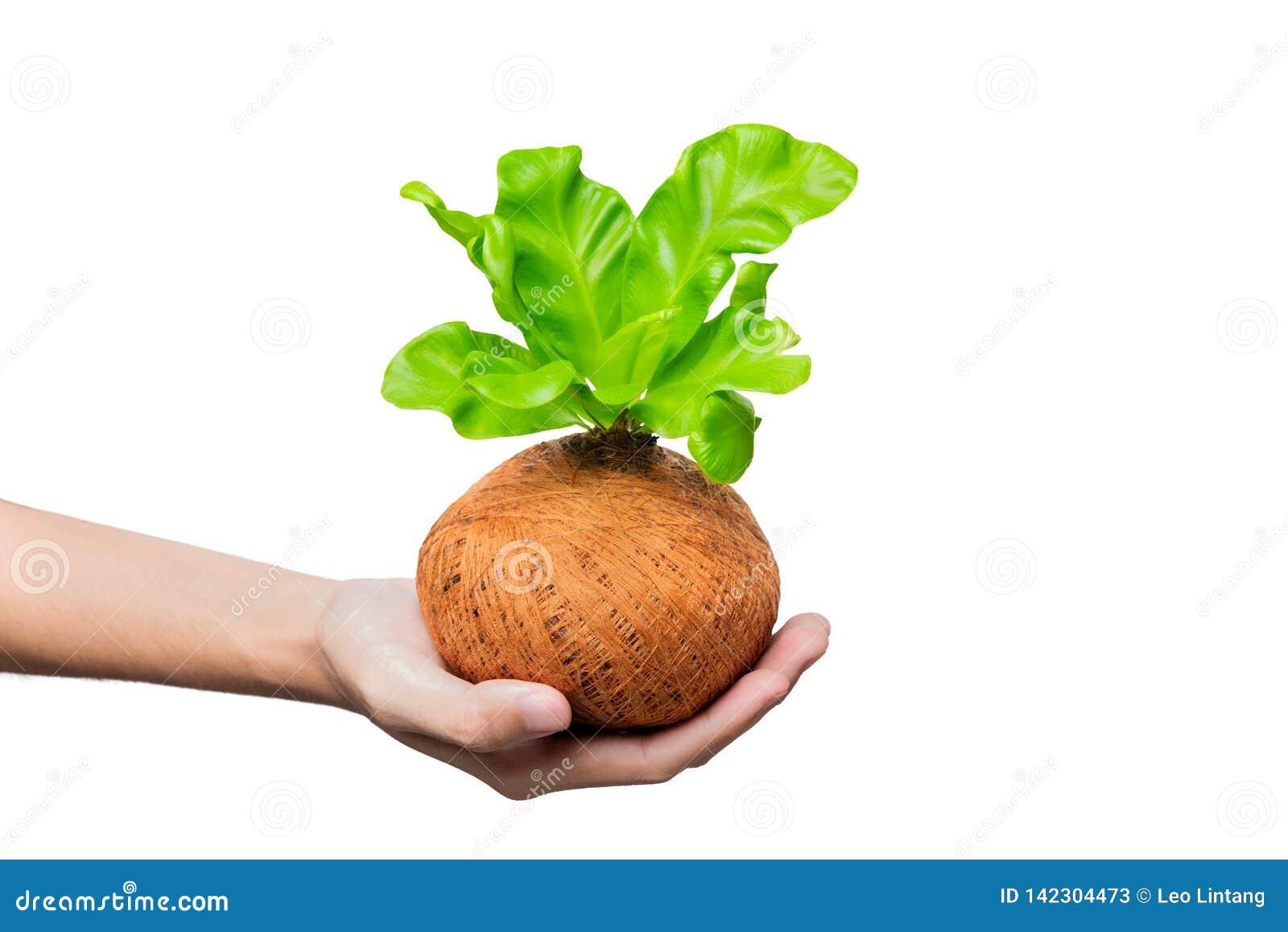 Mano humana que sostiene la planta verde joven en los potes
