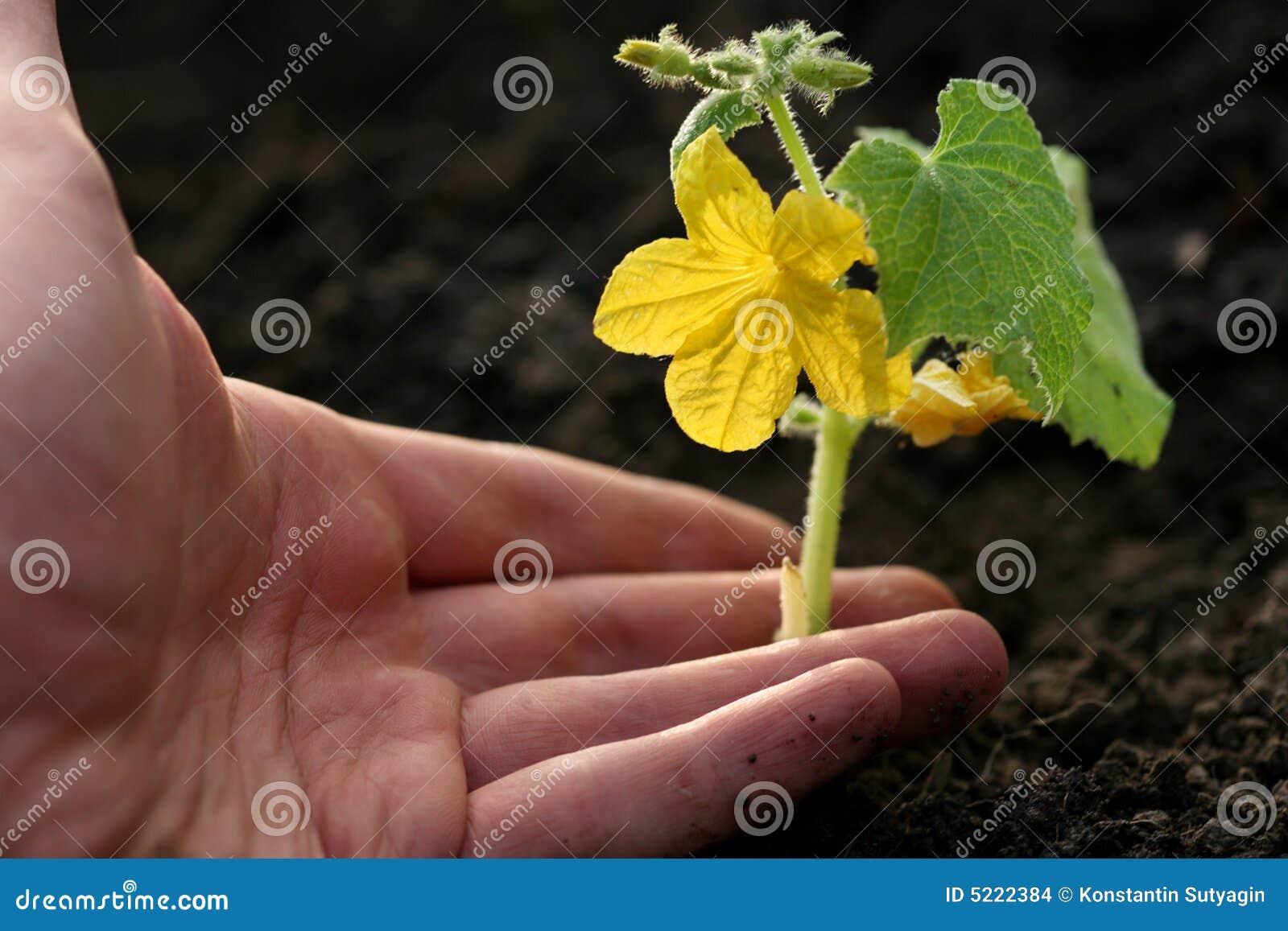 Mano que planta la planta