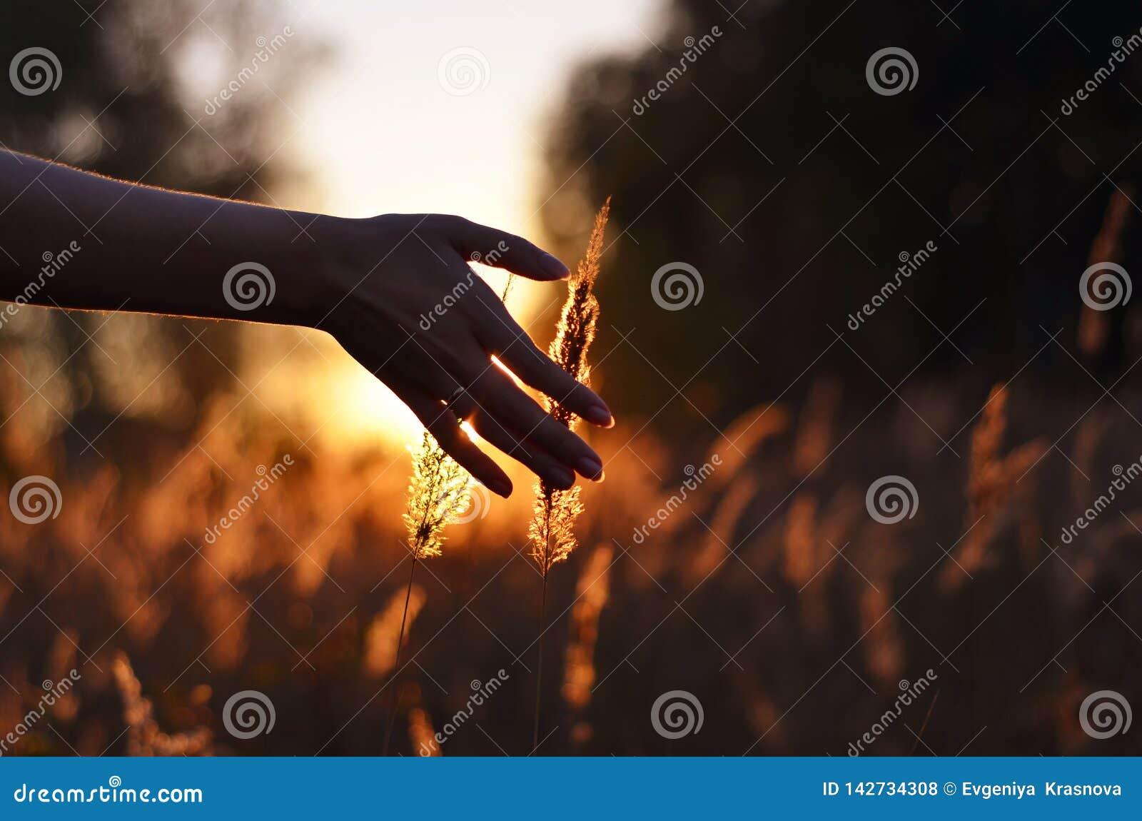 Mano que toca puntos del trigo en la puesta del sol