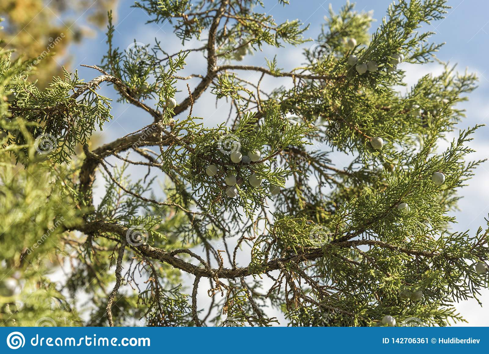 Manojo de bayas de enebro en una rama verde en oto?o