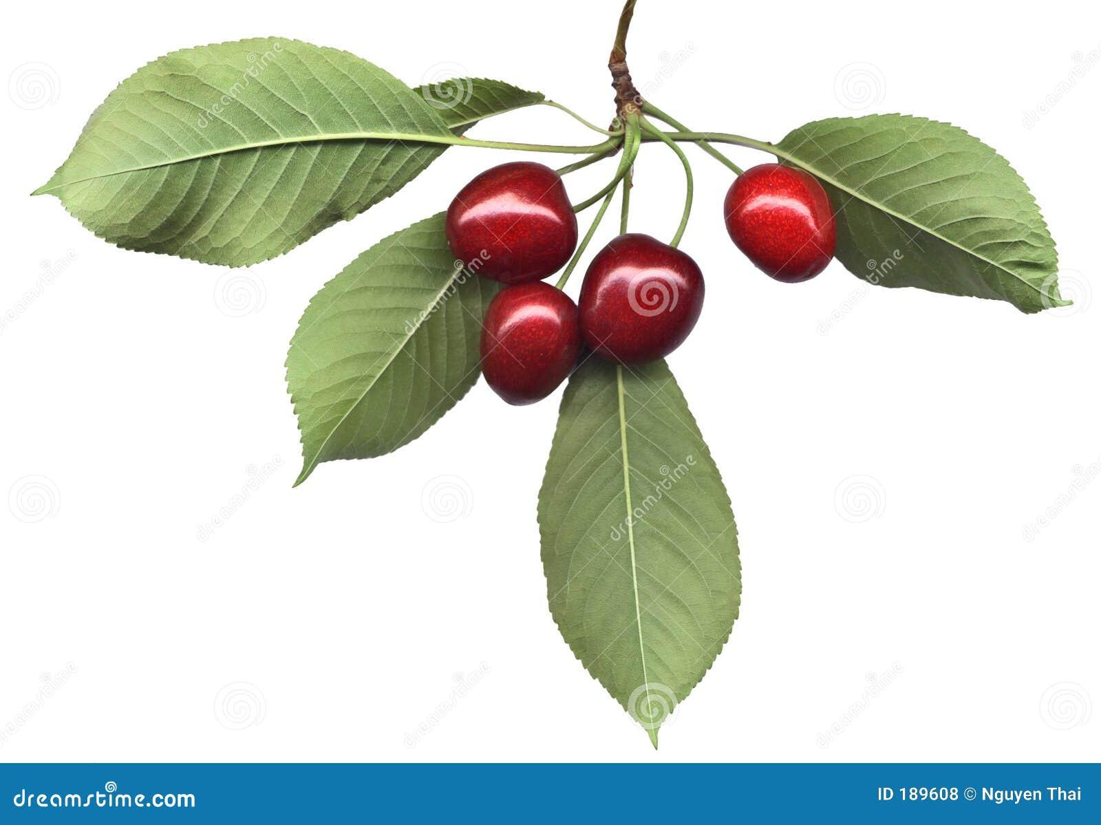 Manojo de la cereza con las hojas